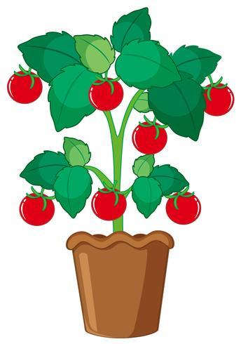 Geïsoleerde tomatenplant in pot vector