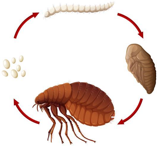 Levenscyclus van een vlo vector