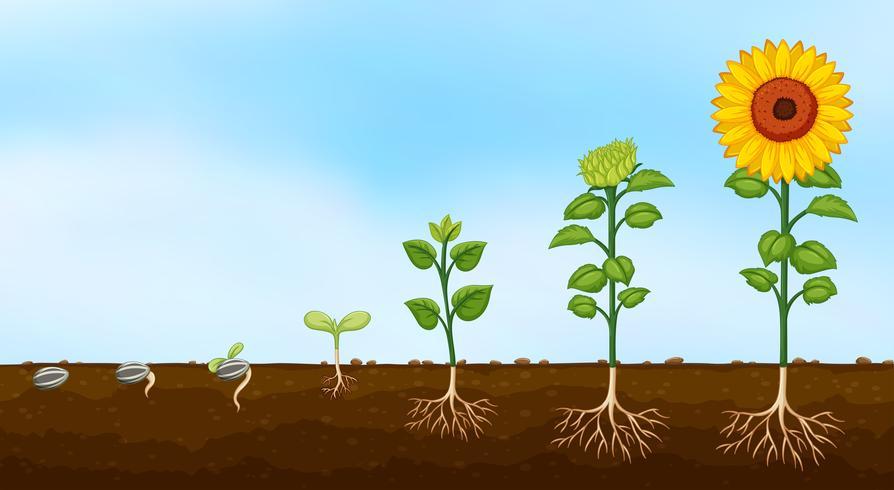 Diagram van groeifasen van planten vector