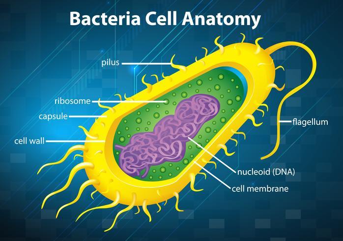 Bacteriën celstructuur vector