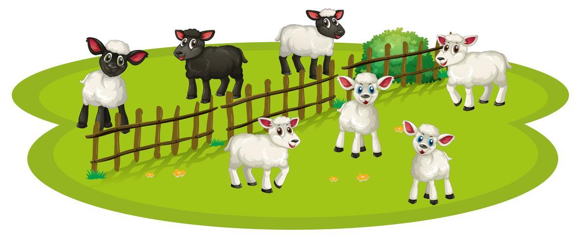 Witte schapen en zwarte schapen op de boerderij vector