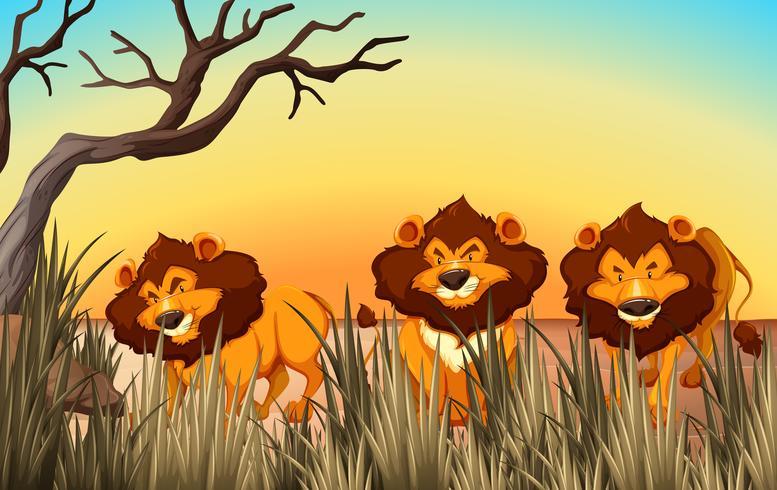 Drie leeuwen op het land vector
