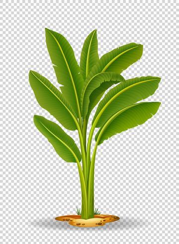 Banaanboom op transparante achtergrond vector