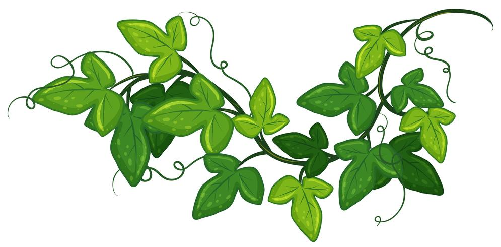 Klimop plant vector