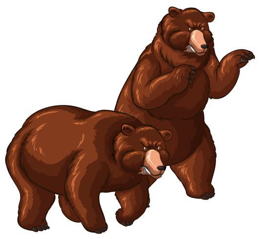 Twee grizzlyberen op witte achtergrond vector