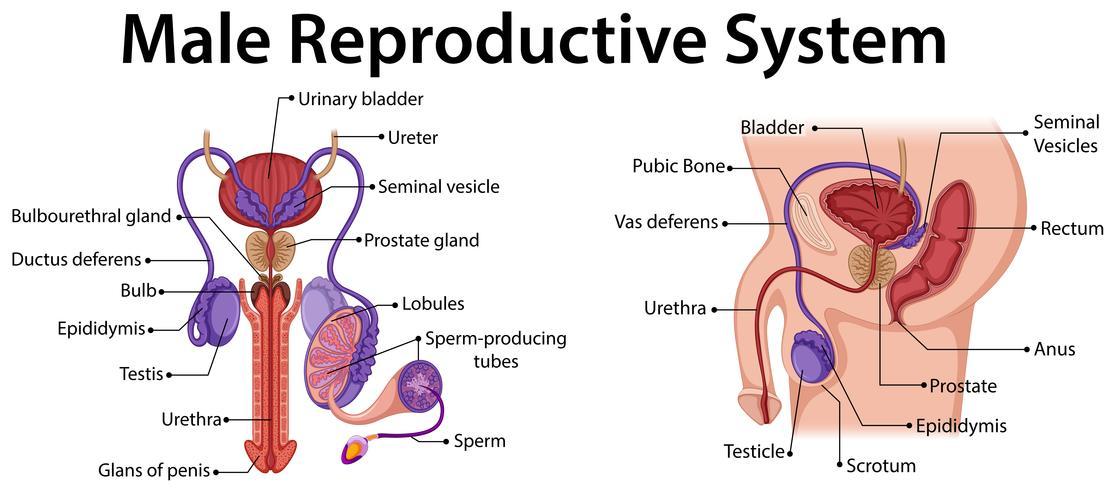 Diagram dat mannelijk reproductief systeem toont vector