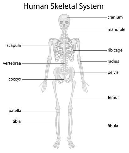 Skeletsysteem vector