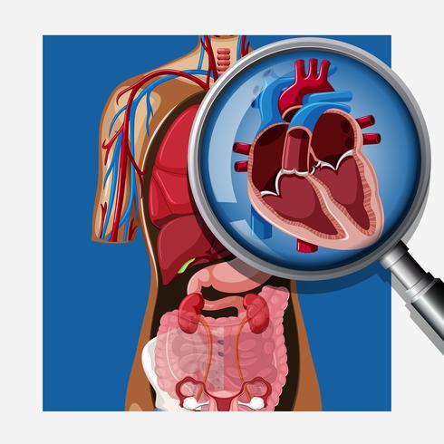 Een close-up menselijk hart anatomie vector