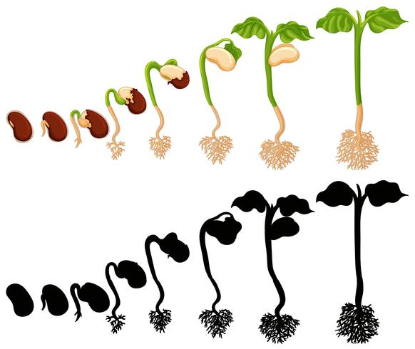 Plant groeit in verschillende stadia vector