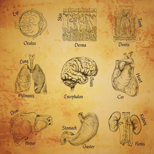 Menselijke organen schetsen vector