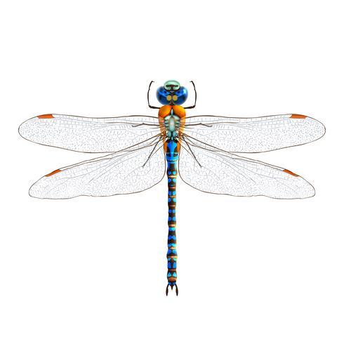 Dragonfly realistische geïsoleerd vector