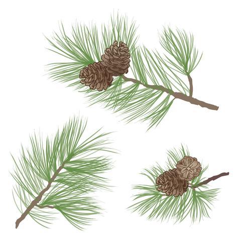 Dennenappel. Pine boomtak geïsoleerd. Bloemen groenblijvende decor vector