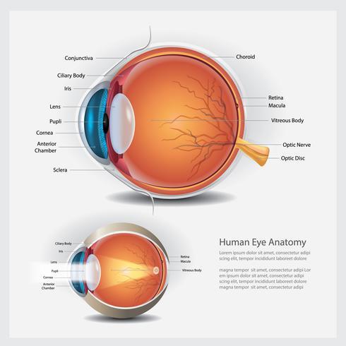 Menselijk oog anatomie en normale lens vectorillustratie vector