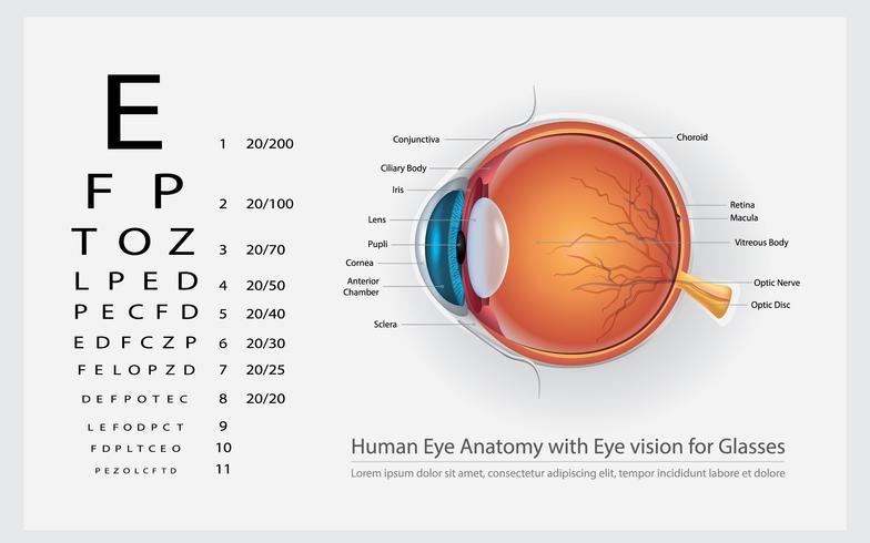 Menselijk ooganatomie met oogvisie voor glazen vectorillustratie vector