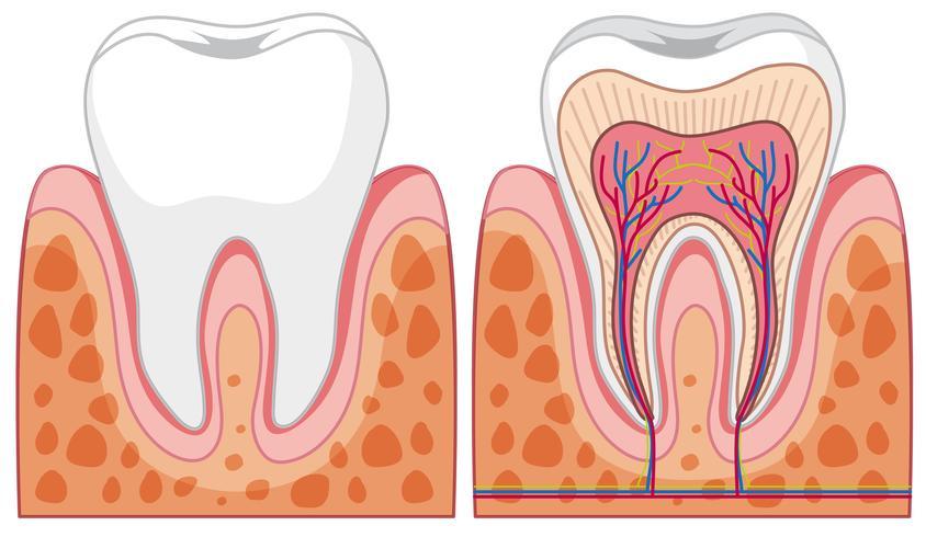Set van tanddiagrammen vector