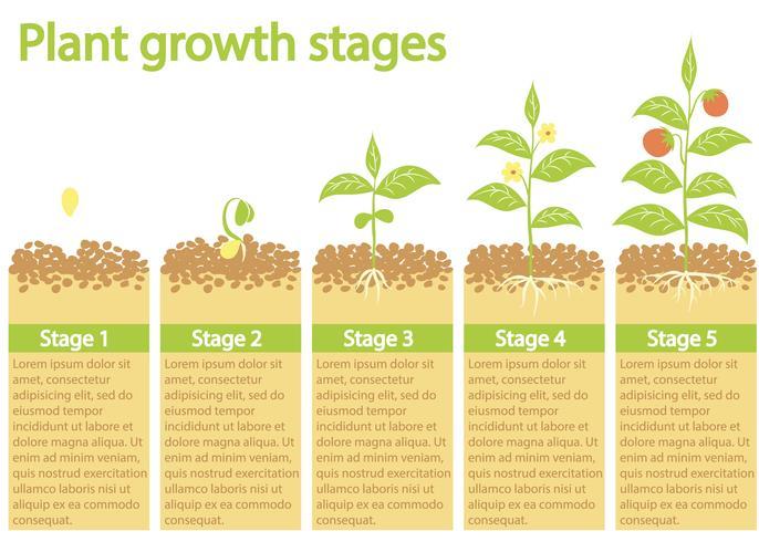 Planten groeien infographic. Planten groeiproces. Plant groeifasen. vector