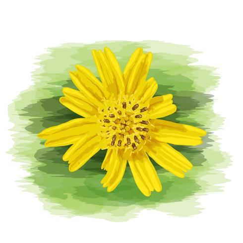 Sluit omhoog geel wild madeliefje met waterverf het schilderen op vectorart. vector