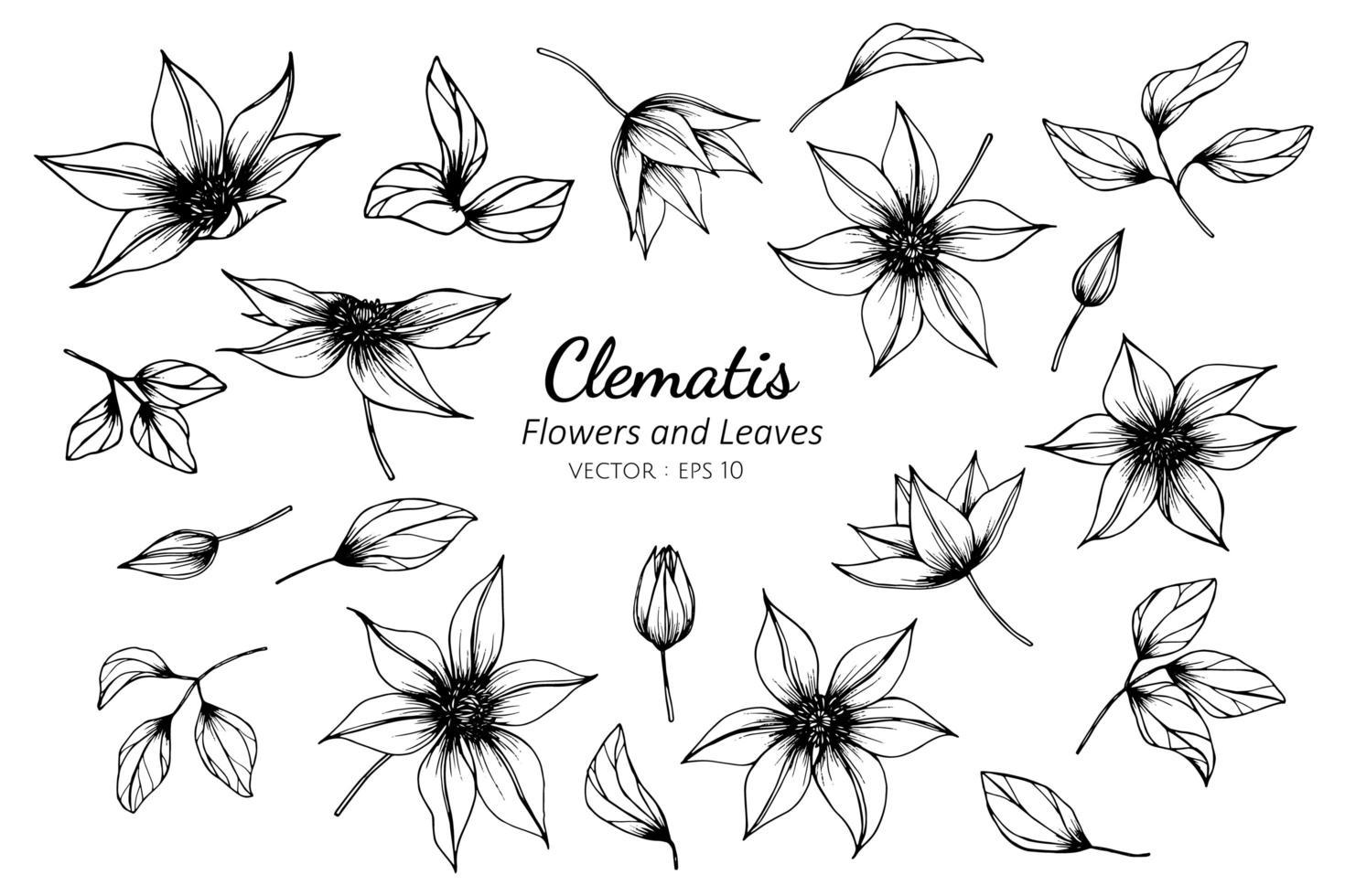 verzameling clematissen bloem en bladeren vector