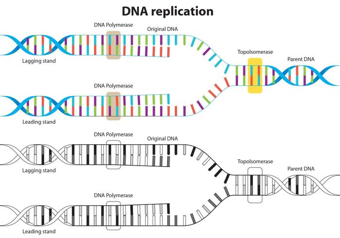 DNA Replicatie Vector Diagram