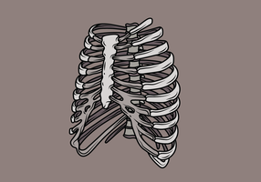 Ribcage Illustratie vector