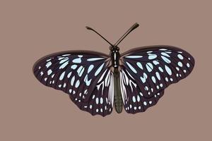 zwarte en blauwe gevleugelde vlinder