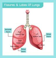 fissuren en lobben van longen infographic