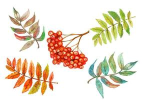 aquarel set van rowan berry en rowan bladeren