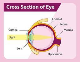 menselijk ooganatomie met dwarsdoorsnede van oogdiagram