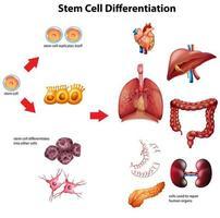 stamceldifferentiatie diagram vector