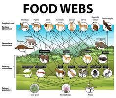 onderwijsaffiche van biologie voor diagram van voedselwebben vector