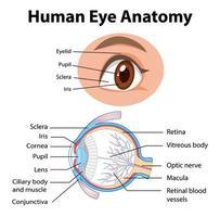 diagram van de anatomie van het menselijk oog met label