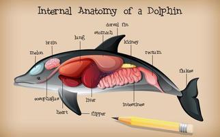 interne anatomie van een dolfijn vector