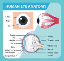 diagram van de anatomie van het menselijk oog met label vector