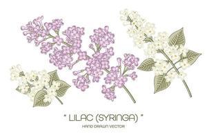 witte en paarse syringa vulgaris of gewone lila bloemtekeningen. vector