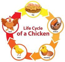 diagram met de levenscyclus van kip