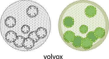 volvox in kleur en doodle op witte achtergrond vector