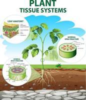 diagram met plantenweefselsystemen vector