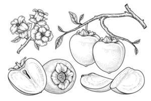 set van hachiya persimmon fruit hand getrokken elementen botanische illustratie vector