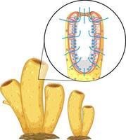 diagram van sponzenstructuur voor biologieonderwijs vector