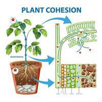 diagram dat plantcohesie toont