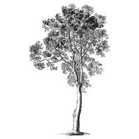 ash tree vintage illustraties vector