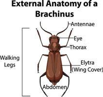 externe anatomie van een brachinus op witte achtergrond vector