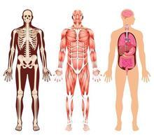 menselijk orgaanskelet en spierstelsel vectorillustraties. vector
