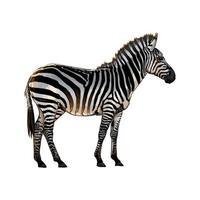 zebra uit een scheutje aquarel, gekleurde tekening, realistisch. vectorillustratie van verven