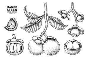 set van mangosteenvrucht hand getrokken elementen botanische illustratie vector