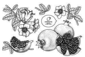 granaatappel fruit hand getekend retro illustratie vector