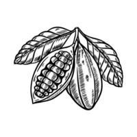 cacao fruit hand getrokken illustratie vector