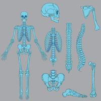 lichtblauwe kleur menselijk skelet structuur vector tekening