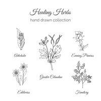 Holistische geneeskunde. Healing Herbs Illustration. vector