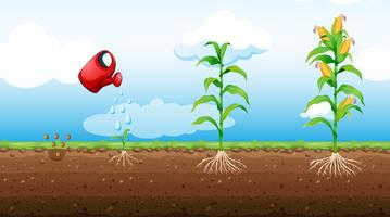 stadia van de groei van maïsplanten